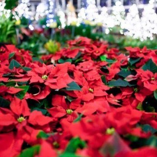 Thousands of Christmas Poinsettias to Select From.
