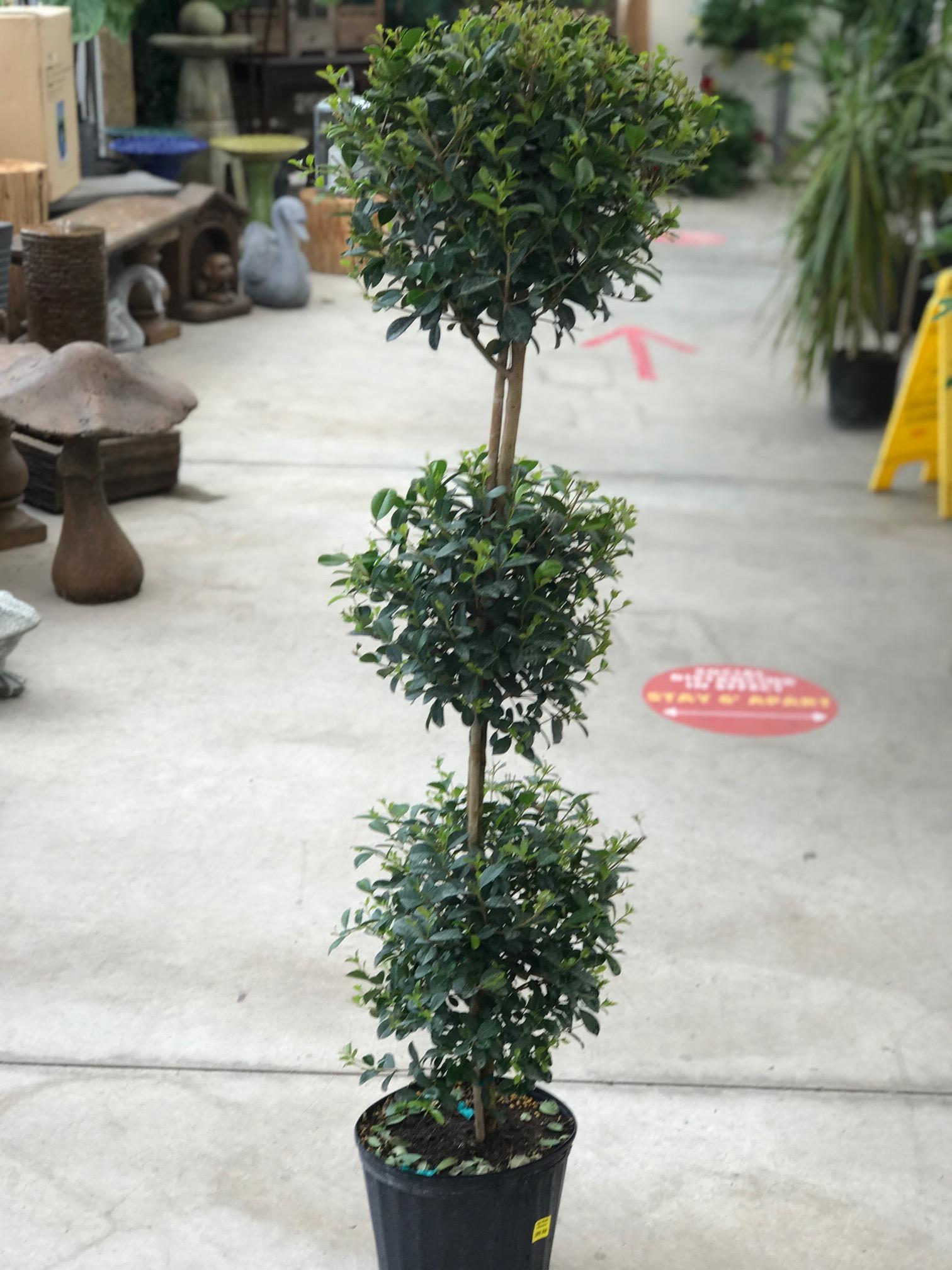 10 Eugenia Topiary 3 Ball Van Belle Flowers